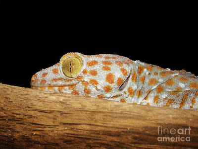 Photograph - Tokay Gecko by Michelle Meenawong