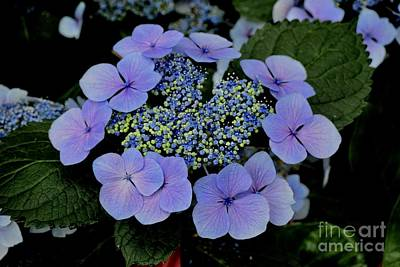 Photograph - Tokyo Delight Lacecap Hydrangea  by Jeannie Rhode