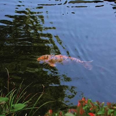 Koi Fish Photograph - #tokyo #japan #temple #fish #koi by At Ta
