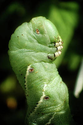 Green Photograph - Tomato Hornworm by Chrystal Mimbs