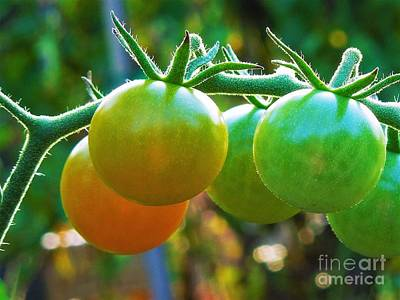 Photograph - Tomato Plant by Chad and Stacey Hall