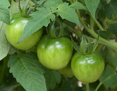 Photograph - Tomato Triplets by Les Weber