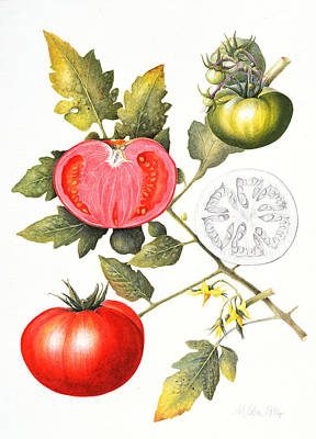 Ripe Drawing - Tomatoes by Margaret Ann Eden