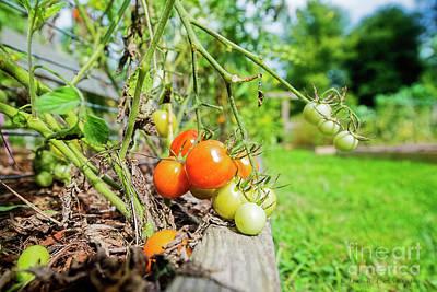 Photograph - Tomatos by David Arment