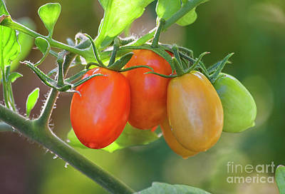 Photograph - Tomatos For All by Ruth Jolly