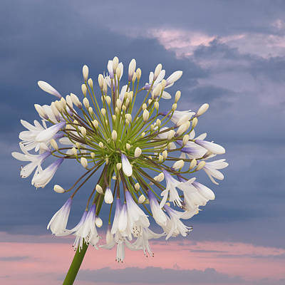 Photograph - Tomorrow Is Another Day Agapanthus Square by Gill Billington