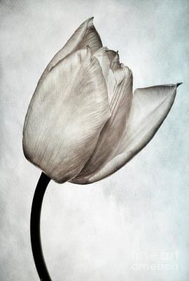 Toned Tulip Print by John Edwards