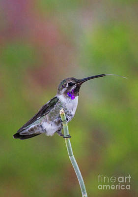 Birding Photograph - Tongue Out Costa's by Ruth Jolly