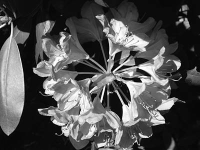Photograph - Toning Down A Rhododendron by Terrance De Pietro