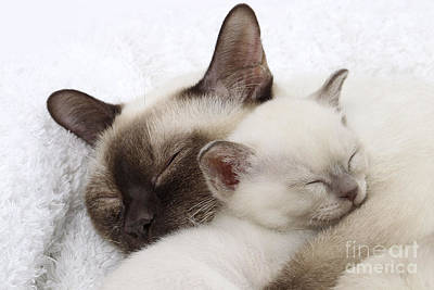 Tonkinese Cat Photograph - Tonkinese Cat And Kitten by Jean-Michel Labat