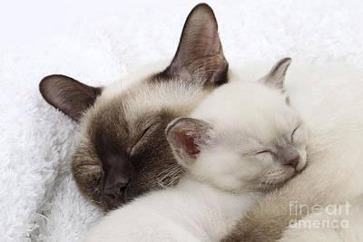 Tonkinese Cat And Kitten Art Print