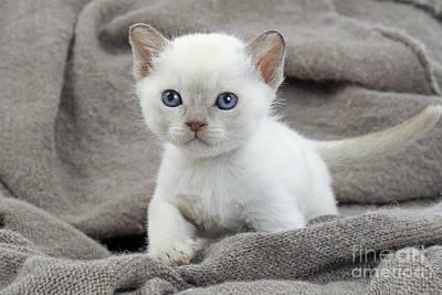 Tonkinese Photograph - Tonkinese Kitten by Jean-Michel Labat