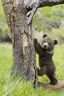 Grizzly Photograph - Too Cute For Words by Melody Watson
