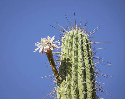 Photograph - Toothpick Cactus And Bloom-img_816618 by Rosemary Woods-Desert Rose Images