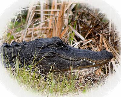 Photograph - Alligator Toothy Grin 2 by Sheri McLeroy