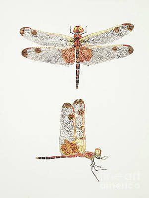 Painting - Top And Side Views Of A Male Calico Pennant Dragonfly by Thom Glace