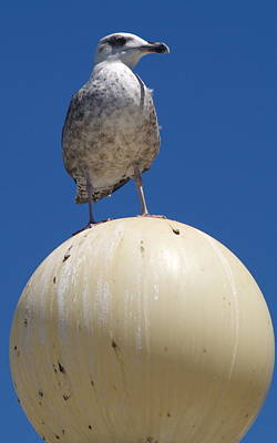 Photograph - Top Gull by Michael Canning