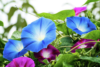 Photograph - Top Of The Morning Glories by Camille Lopez