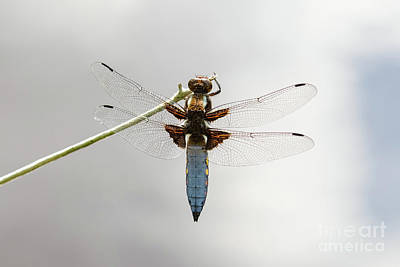 Top Or Dorsal View Of A Single Male Broad-bodied Chaser Dragonfl Art Print