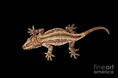 Reptiles Photograph - Top View Of Gargoyle Gecko, Rhacodactylus Auriculatus Staring Isolated On Black Background. Native T by Sergey Taran