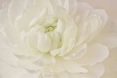 Photograph - Top View - White Ranunculus by Sandra Foster