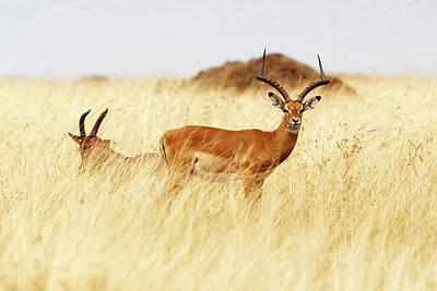 Photograph - Topi In Tall Grass Eating Flower by Susan Schmitz