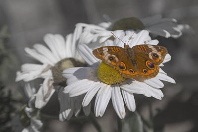 Topsail Butterfly Art Print