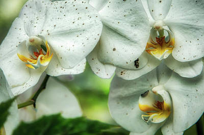 Photograph - Toronto Orchids by Ross Henton