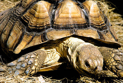 Photograph - Tortoise by Andy Jeter