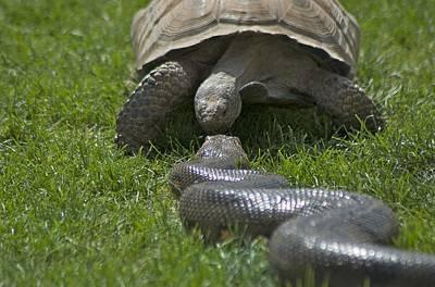 Tortoise Kissing An Anaconda Art Print by Susan Heller