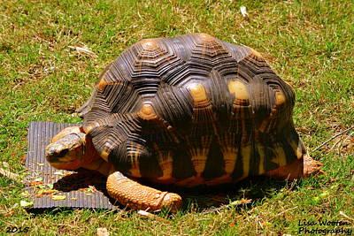 Photograph - Tortoise by Lisa Wooten