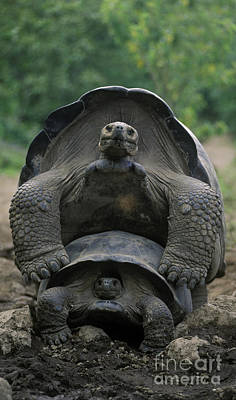 Tortoise Love - Galapagos Art Print