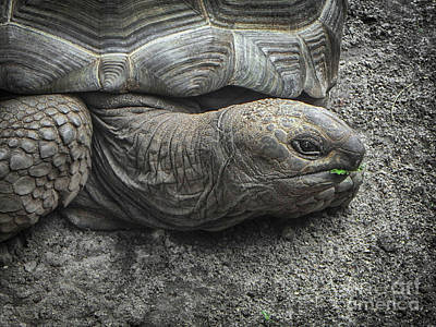 Photograph - Tortoise Portrait by Judy Hall-Folde