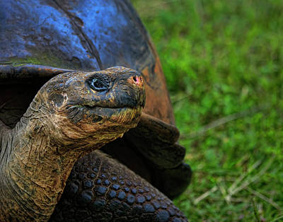Photograph - Tortoise by Ray Kent