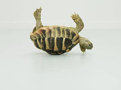 Tortoise Upside Down, Balancing On Shell Art Print