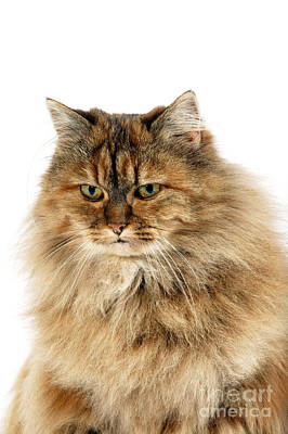 Longhair Cats Photograph - Tortoiseshell Persian Cat by Gerard Lacz