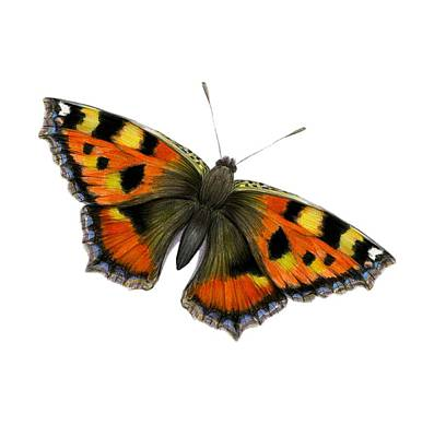 Painting - Tortoishell Butterfly by Alison Langridge