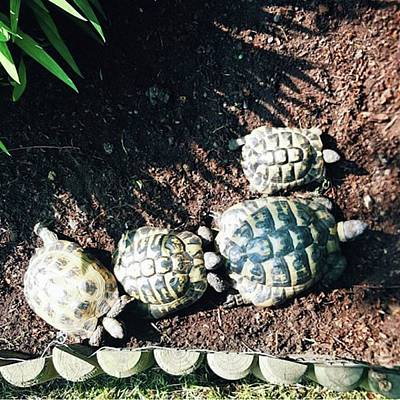 Photograph - #torts #tortoise #sunbathing #shell by Natalie Anne