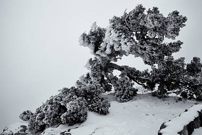 Photograph - Tortured Juniper by Alan Vance Ley