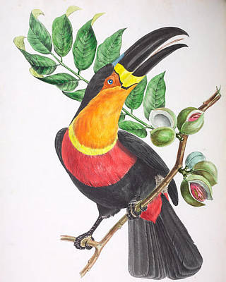 Toucan Drawing - Toucan Ariel by Jean Theodore Descourtilz