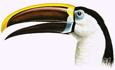 Toucan Wall Art - Painting - Toucan by English School