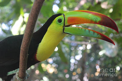 Photograph - Toucan In Colombia by Wilko Van de Kamp