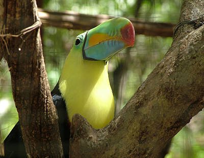 Photograph - Toucan by Joel Gilgoff