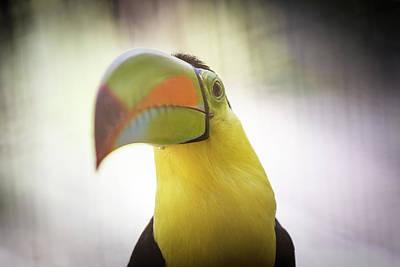 Photograph - Toucan by Toren Lehrmann