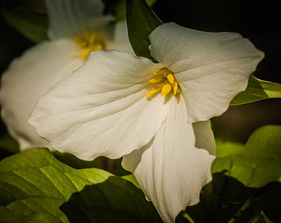Photograph - Touched By A Trillium by Terry Ann Morris