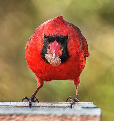 Photograph - Tough Guy Cardinal by Jim Moore