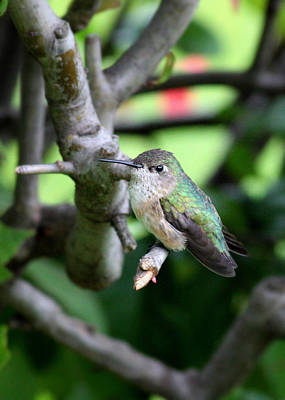 Owls - Tough Hummingbird  by Carol Groenen