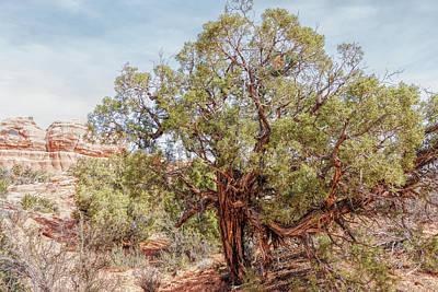 Photograph - Tough Old Utah Juniper by John M Bailey