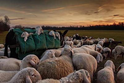 Sheep Photograph - Toward New Grasslands by Aida Ianeva