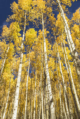 Photograph - Towering Aspens by Phyllis Peterson
